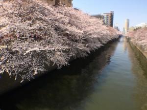 目黒川の花見のアクセス&最寄り駅 場所取り可能?屋台やお店は?