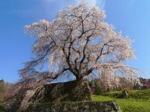 又兵衛桜の開花・アクセス・駐車場情報!あきのの湯で日帰り温泉も