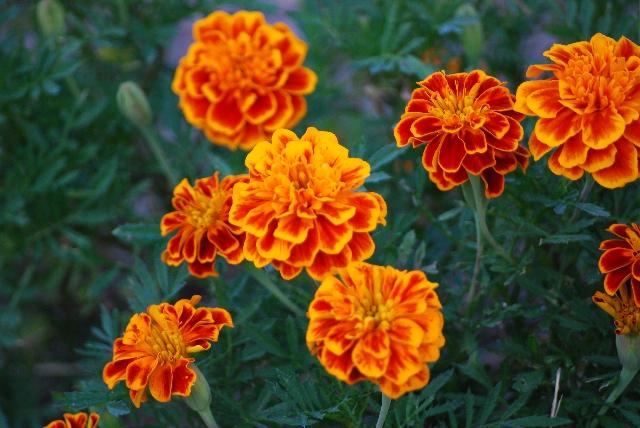 ガーデニングに最適!手間いらずな夏の花6選!植える時期の情報も