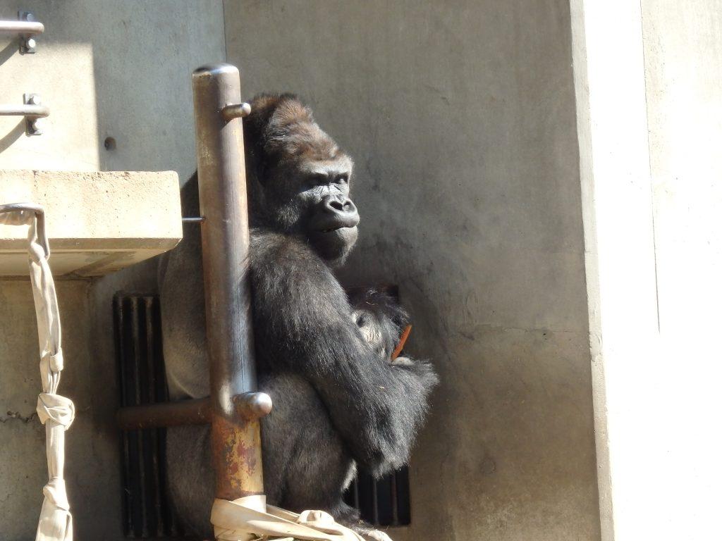 東山動物園のイケメンゴリラ