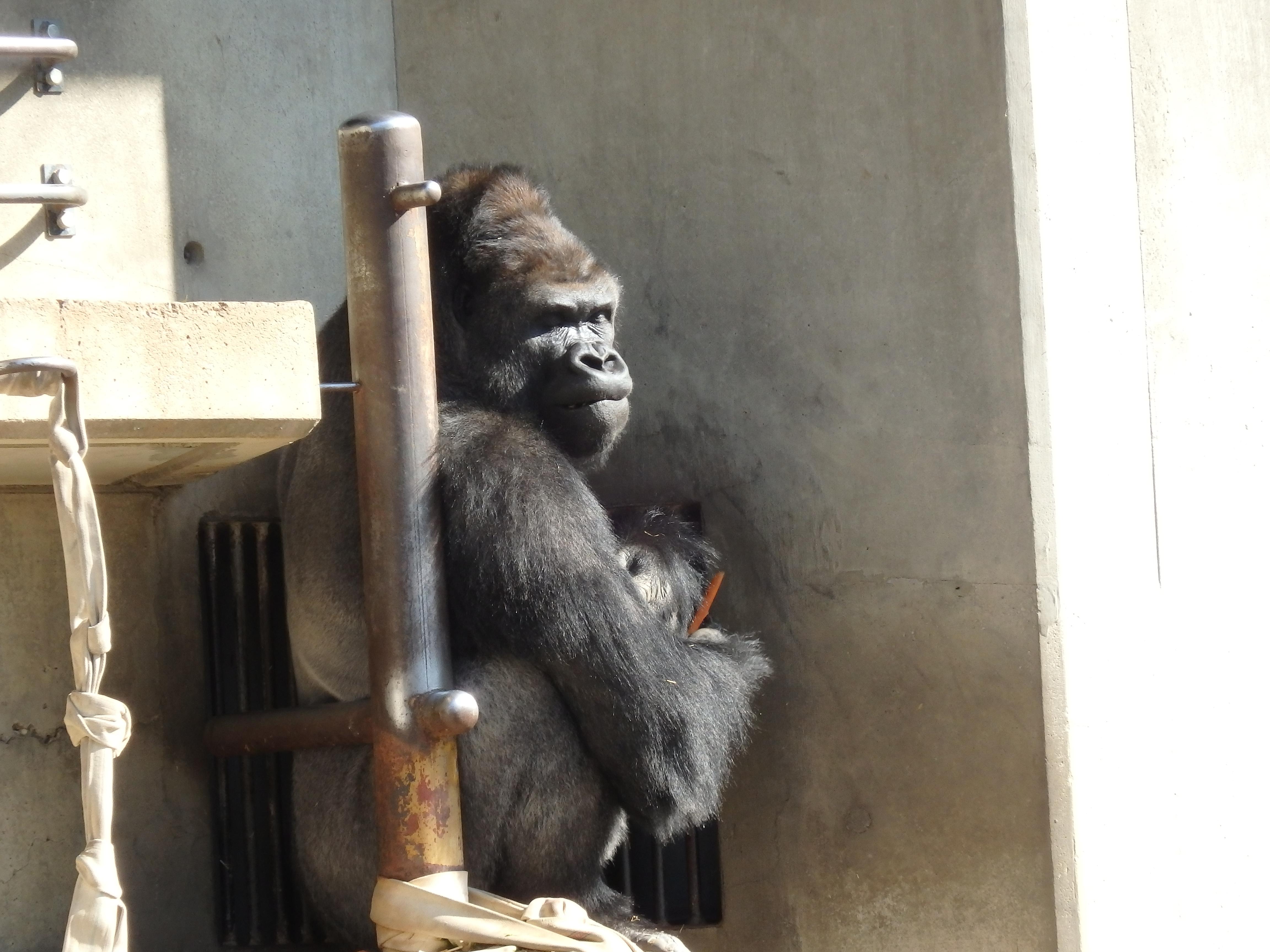 イケメンゴリラに会いに行こう!東山動物園の入場料割引情報!